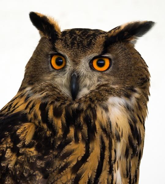 European Eagle Owl by bppowell