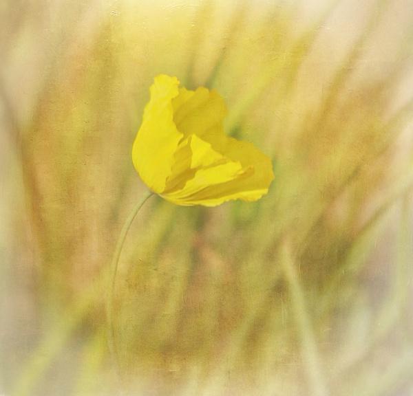 Californian Poppy by Tianshi_angie