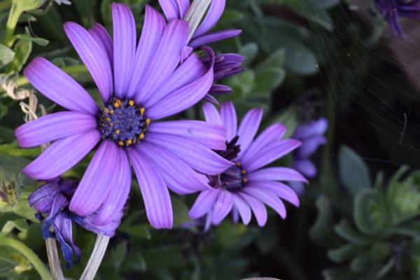 Purple daysi by crazylion