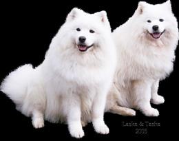 My Samoyeds