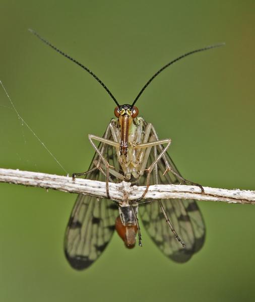 Scorpion Fly by glsammy