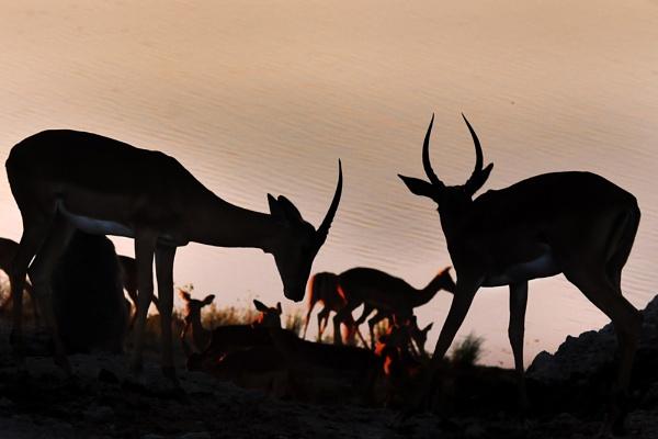Impala Sunset by AndrewAlbert