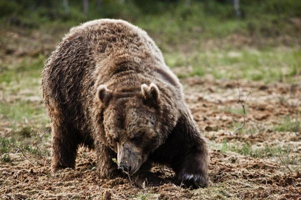 Digging European Brown Bear by rontear