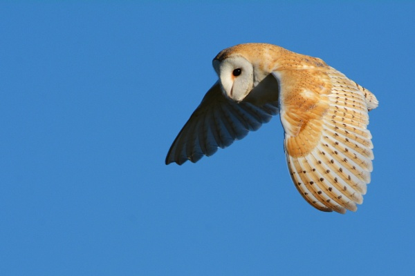 Wild Barn Owl 2 by richmowil