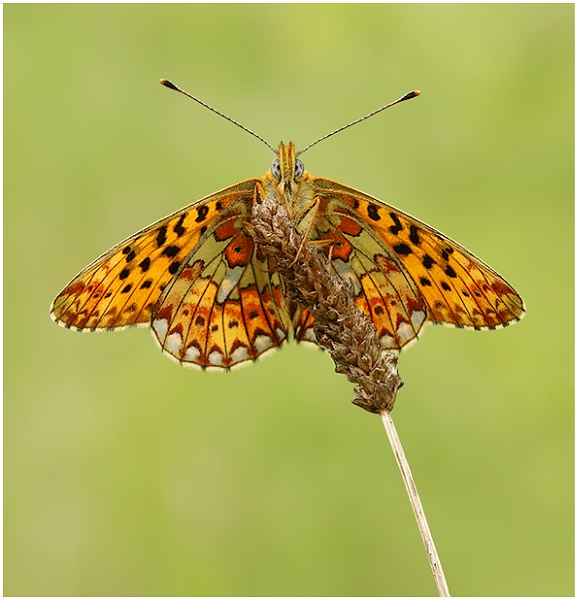 Pearl Bordered Fritillary. by NigelKiteley