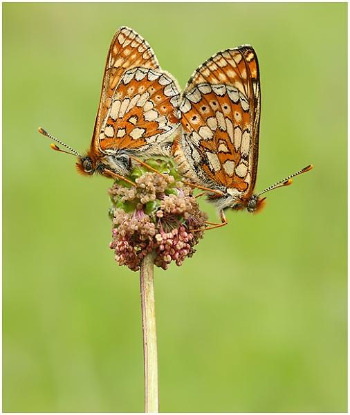 Marsh Fritillaries. by NigelKiteley