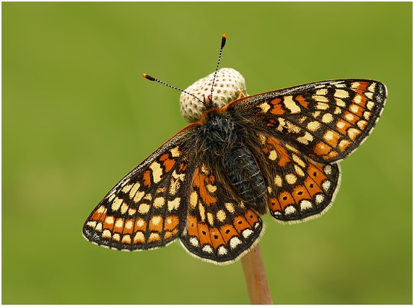 Marsh Fritillary. by NigelKiteley