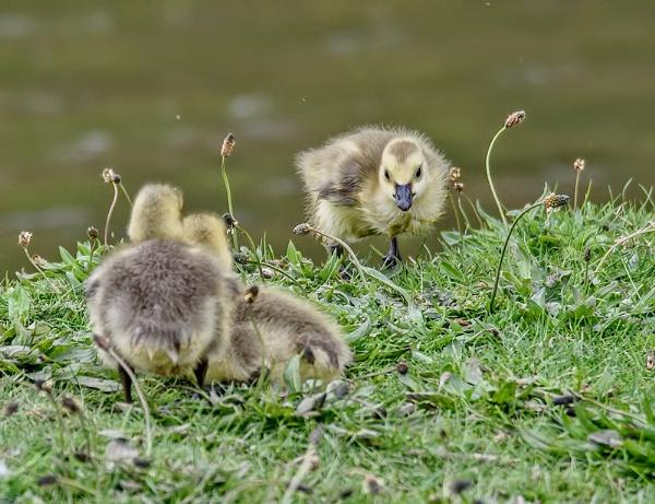 Goslings by rsjkinson