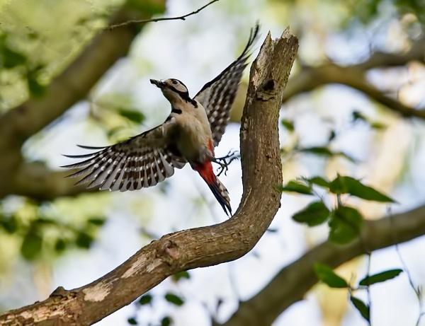 Greater Spotted Woodpecker by rsjkinson