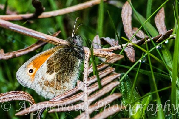 Small Heath butterfly. by cheddar-caveman