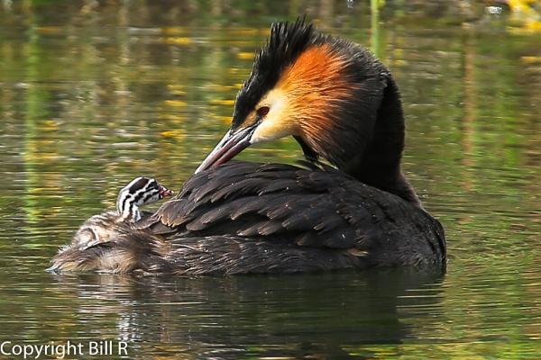 Grebe with chick by Rhoadesy