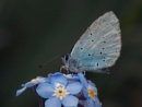 Blue on Forget-Me-Not