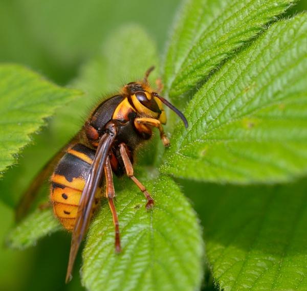 Hornet. by Shedboy