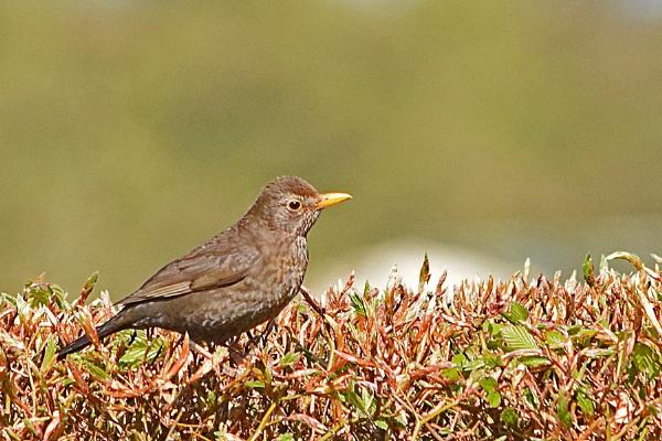 Female Blackbird. by Fogey