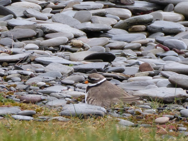 Ringed Plover by Ted447