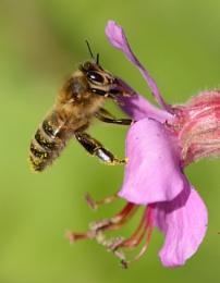 Bee in Geranium