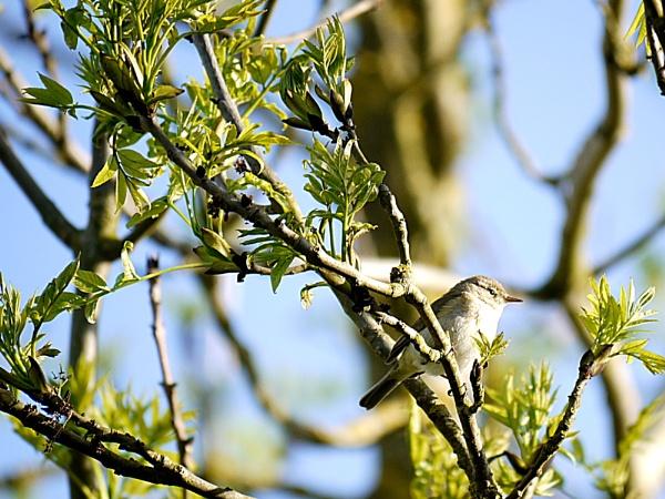 Willow warbler by DerekHollis