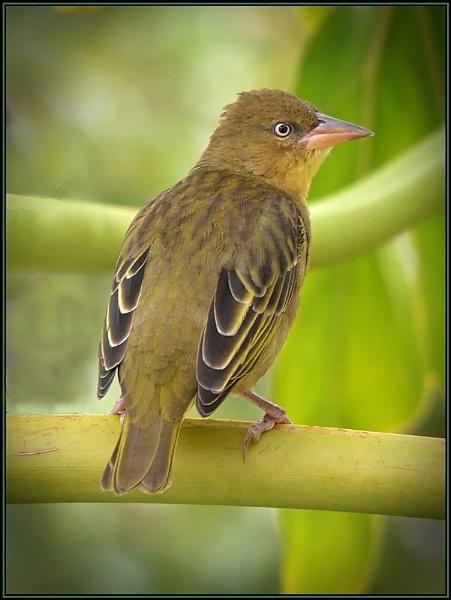 Female Weaver bird by fotobee