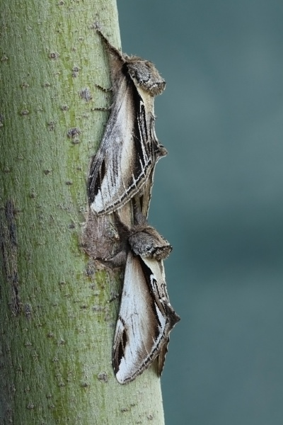 Swallow Prominent (T) and Lesser Swallow Prominent (B) by Andy_brown