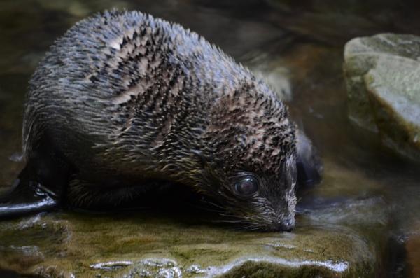 Fur seal pup by Rick51