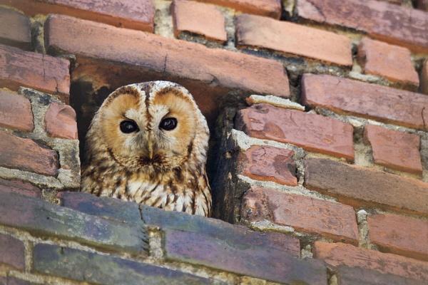 Tawny owl (Strix aluco) by tomaszbudnicki