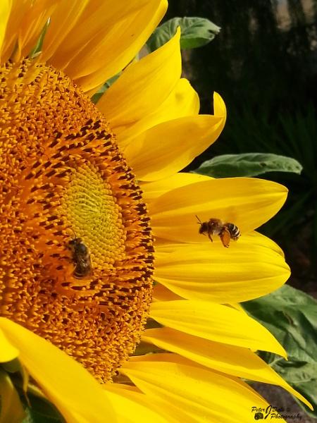 Sunny Sunflower by Pejadee