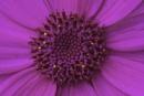 Daisy Close Up by Umberto_V