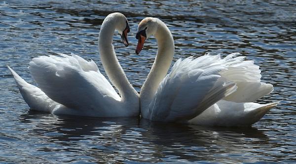 Swans by chensuriashi