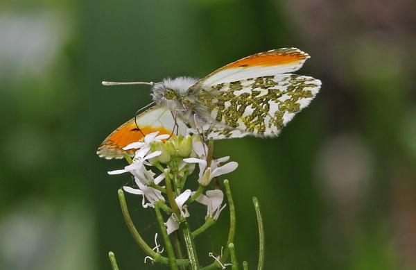 Orange tip Butterfly by glsammy