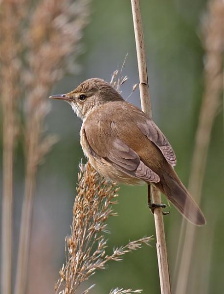Reed Warbler by glsammy