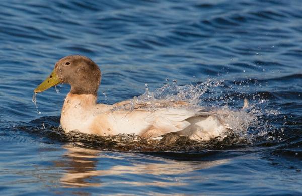Water off a ducks back by michaelo