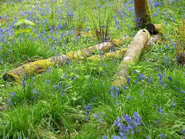 Bluebells in Spring Wood by kevtrucker
