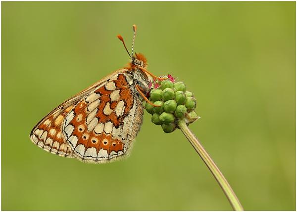 Marsh Fritillary. by NigelKiteley