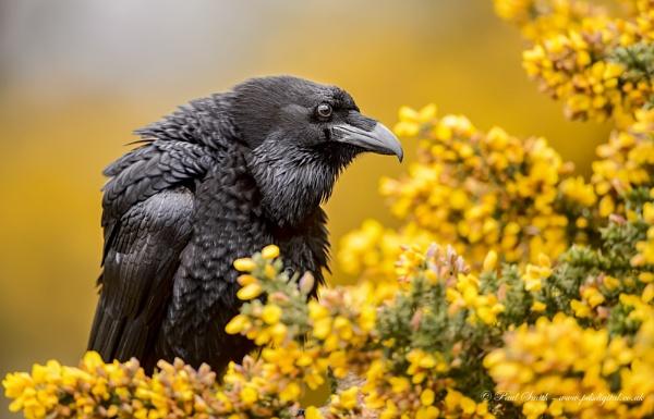 Raven in Gorse by pdsdigital
