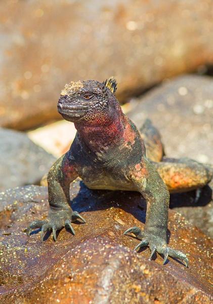 Marine Iguana by stevie