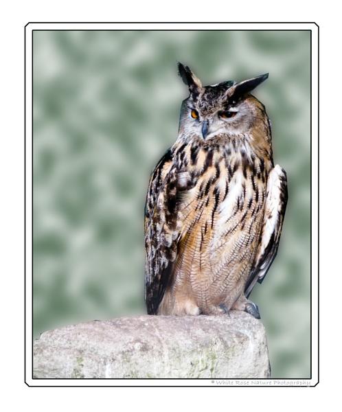 Eurasian Eagle Owl by Drighlynne
