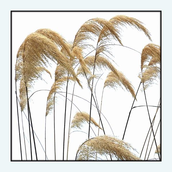 Ornamental Grass by Philip_H