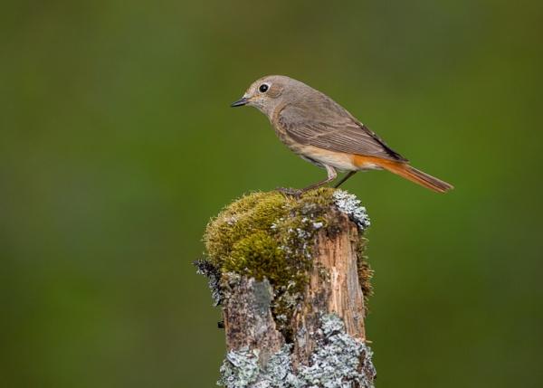 Something different...A female Redstart by KPnut