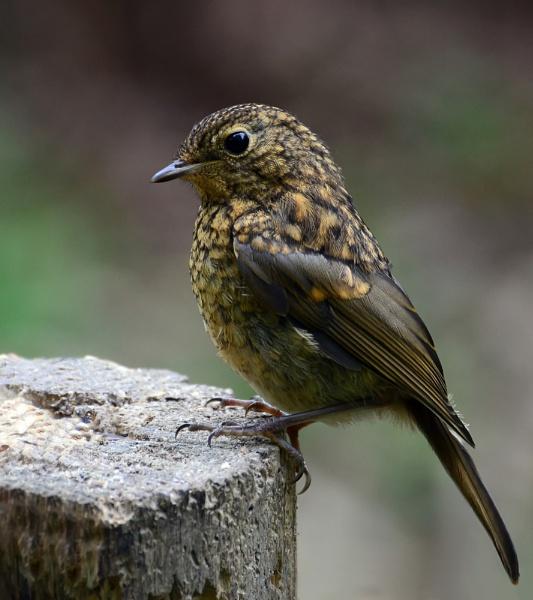 Juvenile Robin by Holmewood