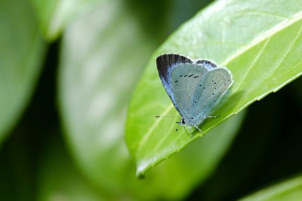 Holly Blue : Garden by rickhanson