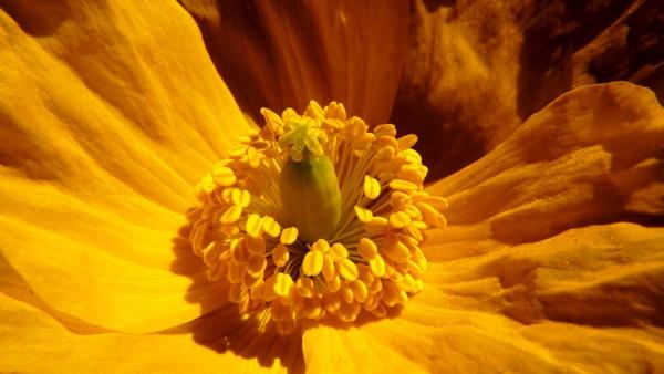 Yellow Poppy by jon_gopsill