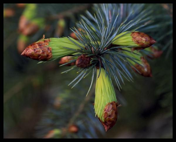 pine tree by callumcorrie
