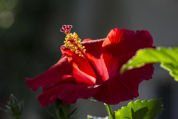 Flower Red by wsteffey