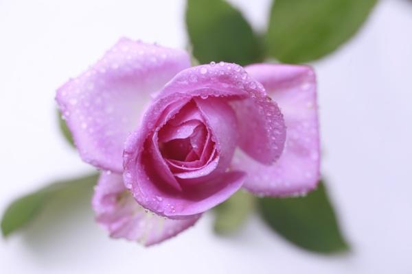 Pink Rose of Bream by sanroy99