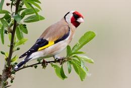Goldfinch on a Sloe Bush.