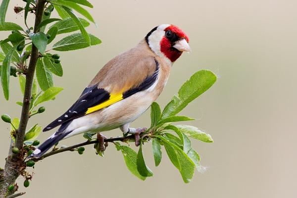 Goldfinch on a Sloe Bush. by Brian65
