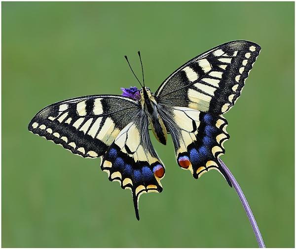 European Swallowtail. by NigelKiteley