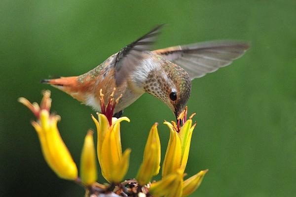 Hummingbird by john_w168