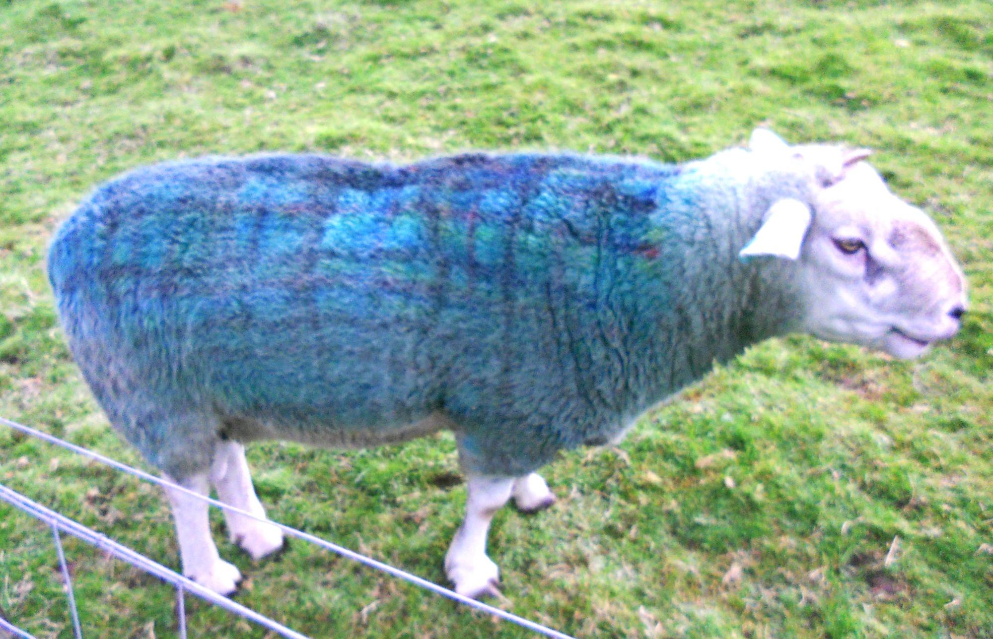 A STRANGE BEAST IS THE TARTAN SHEEP