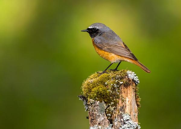 The Male Redstart by KPnut